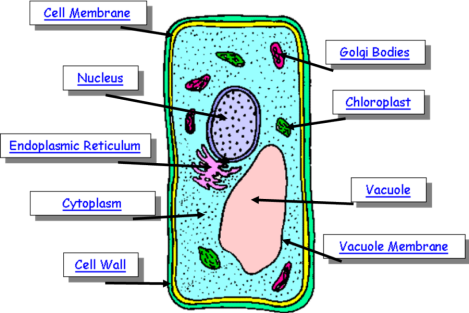 plant cell diagram with labels